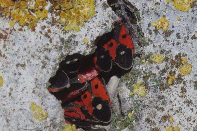 Melanocoryphus albomaculatus  - Stephane Stein