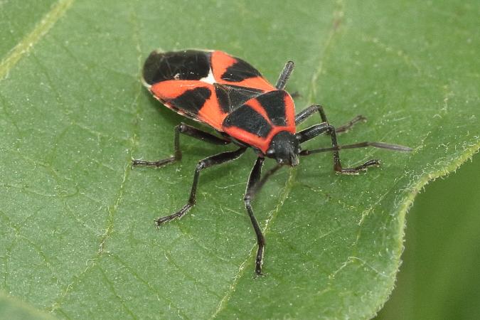 Tropidothorax leucopterus  - Eric Zimmer
