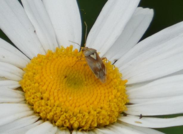 Lygus pratensis  - Rémy Gentner