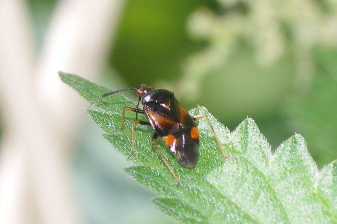 Deraeocoris (Deraeocoris) ruber  - Stephane Stein