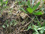 Delphine Lacuisse - Escargot des haies