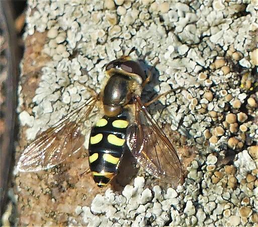 Syrphidae sp.  - Liliane Bories