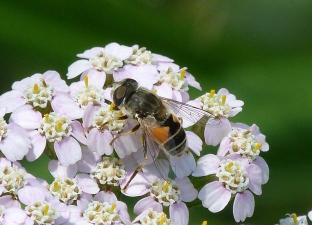 Syrphidae sp.  - Rémy Gentner