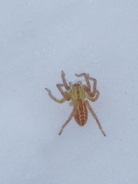 Araignée indéterminée  - Dominique Holtz