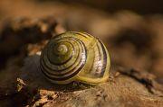 Armelle Chapman - Escargot des jardins