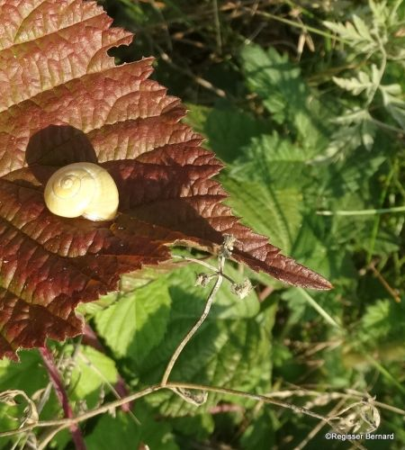 Escargot des jardins  - Bernard Regisser