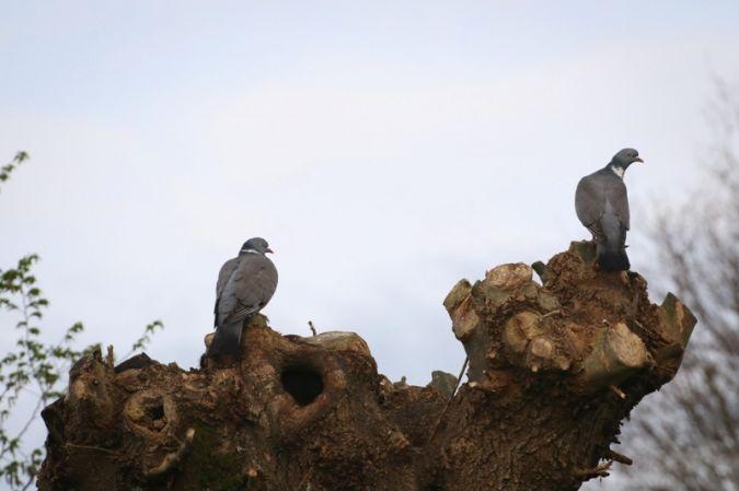 Pigeon ramier  - Bernadette et Patrice Beaupérin-Delaunay