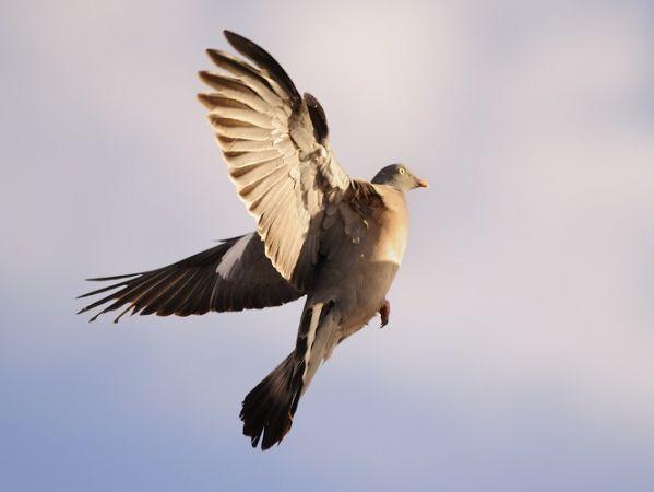 Pigeon ramier  - Didier Ferrand