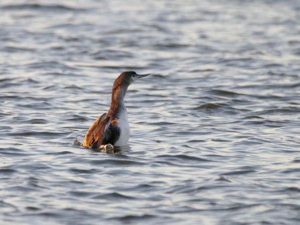 Plongeon catmarin  - Robert Hersant