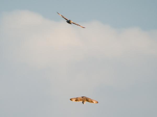 Hibou des marais  - Maxime Fouillet