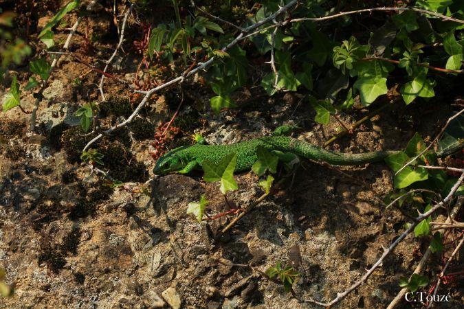 Lézard à deux raies (L. vert occidental)  - Camille Touzé