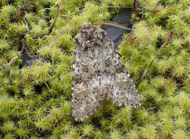Polymixis lichenea  - Robert Hersant