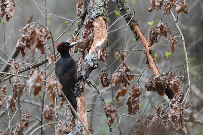 Black Woodpecker  - Alain Dupuy