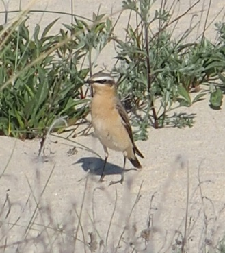 Northern Wheatear (O.o.leucorhoa)  - Local Pointe de Grave