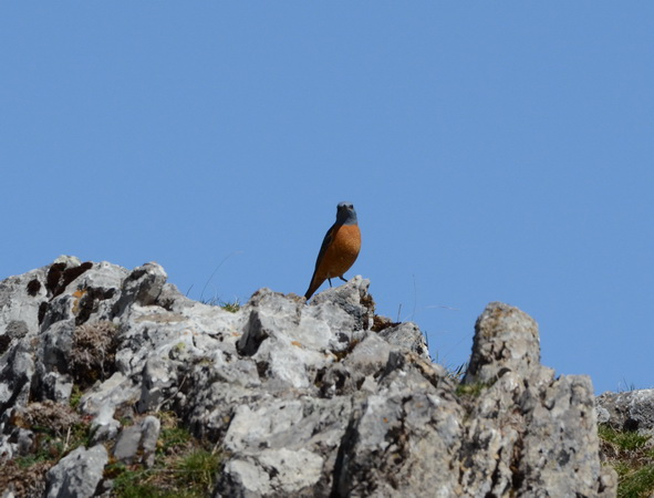 Rufous-tailed Rock Thrush  - Nicolas Delon