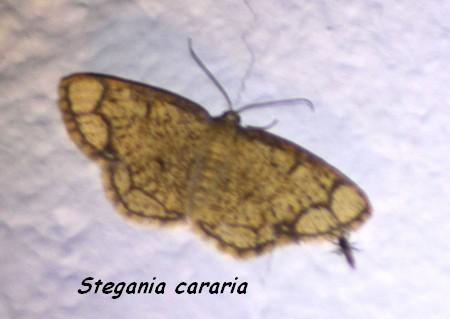 Stegania cararia  - Jean Claude Vignes