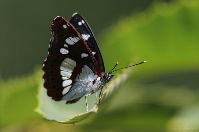 Blauwe ijsvogelvlinder  - Loïc Le Comte