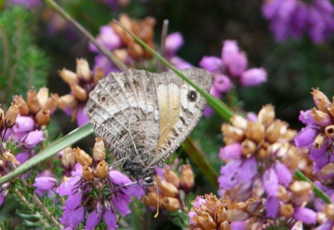 Arethusana arethusa  - Alain Boeckx