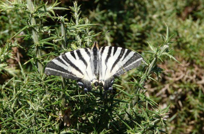 Scarce Swallowtail  - Alain Boeckx