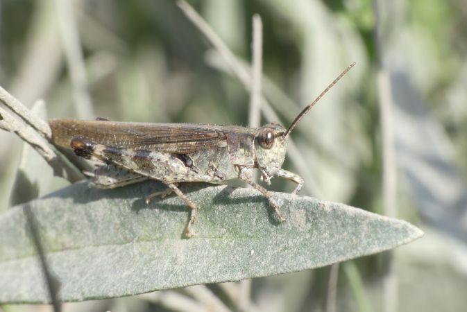 Epacromius tergestinus tergestinus  - Florent Besson