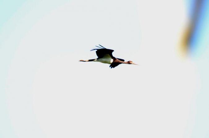 Black Stork  - Alexandre Bert Guide Naturaliste Ot D'arès
