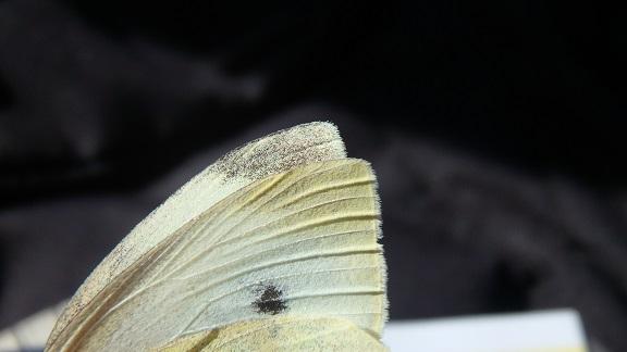 Piéride de la rave  - Carine Bidegaray