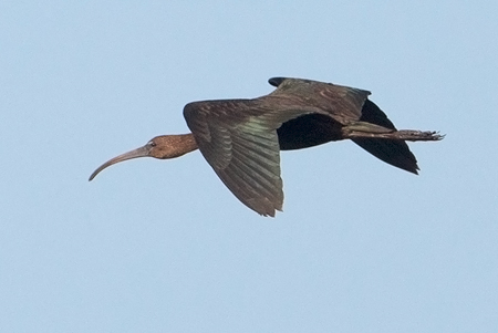 Ibis falcinelle  - Didier Domec