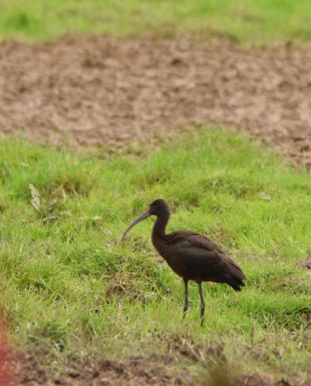Ibis falcinelle  - Geoffroy Chabot