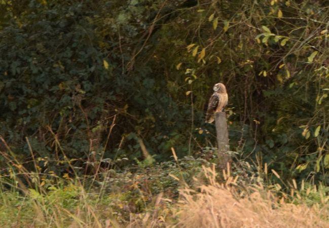Hibou des marais  - Geoffroy Chabot