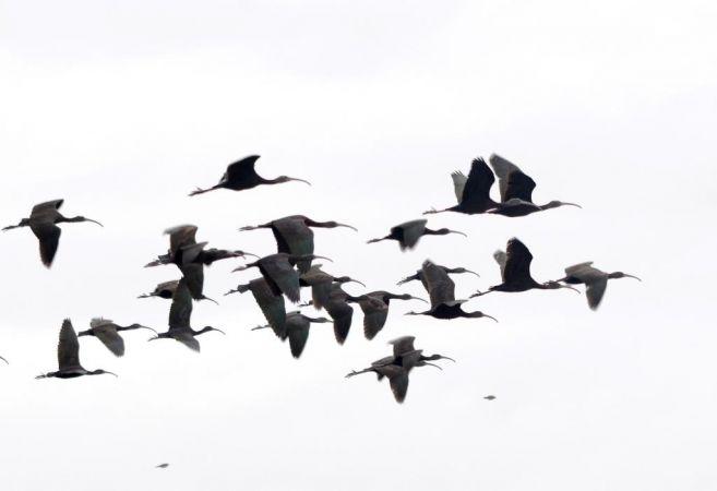 Glossy Ibis  - Alexandre Bert Guide Naturaliste Ot D'arès