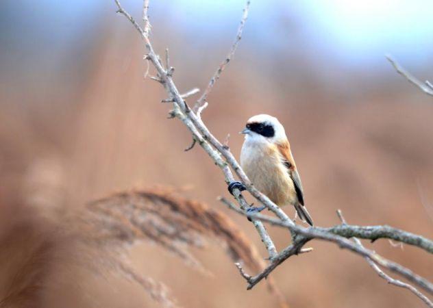 Pájaro Moscón  - Alexandre Bert Guide Naturaliste Ot D'arès