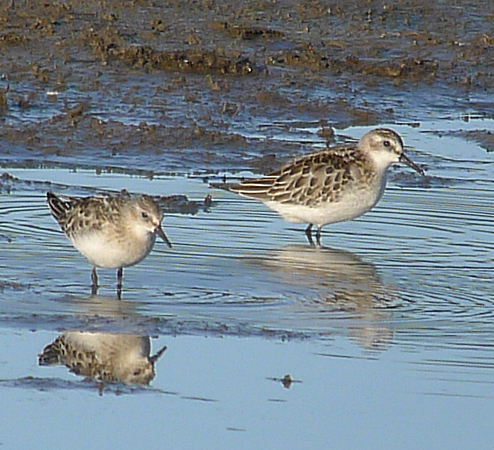 Little Stint  - Alain Naves
