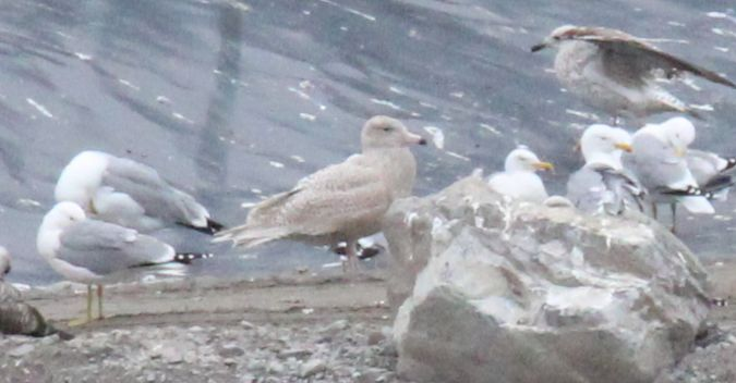 Glaucous Gull  - Bertrand Lamothe