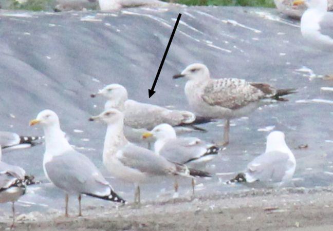 Caspian Gull  - Bertrand Lamothe