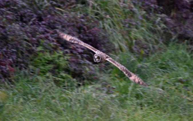 Short-eared Owl  - Geoffroy Chabot