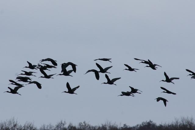 Ibis falcinelle  - Département de La Gironde Espaces Naturels Sensibles