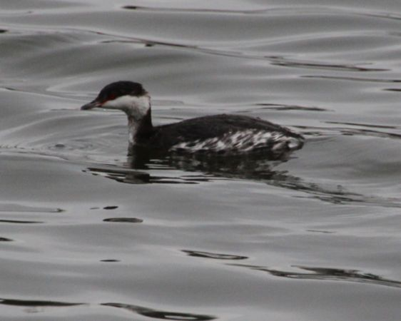 Horned Grebe  - Frédéric Revers