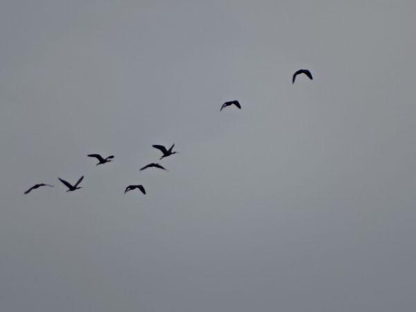 Ibis falcinelle  - François Poirier