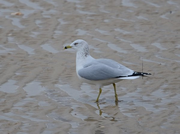 Ring-billed Gull  - Olivier Le Gall