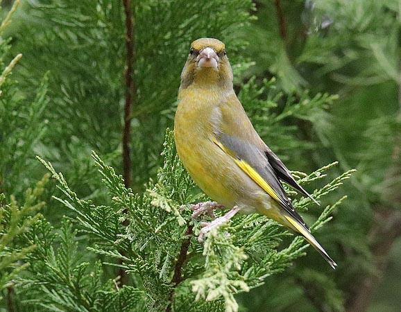 European Greenfinch  - Andre Linda