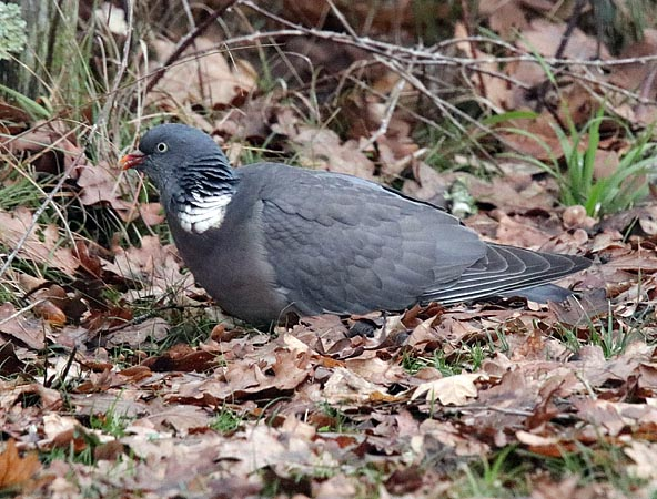 Common Wood Pigeon  - Andre Linda