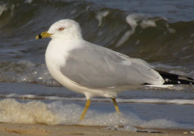 Ring-billed Gull  - Mathieu Taillade