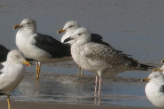 Caspian Gull  - Pierre Zimberlin