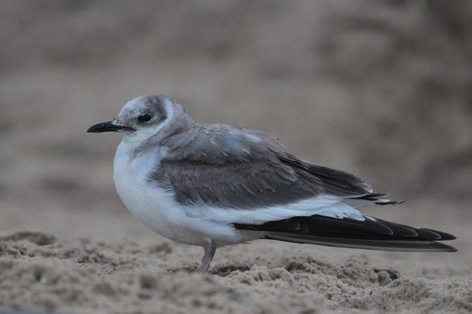 Sabine's Gull  - Pierre Zimberlin