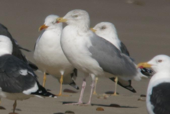 Herring Gull (L.a.argentatus)  - Pierre Zimberlin