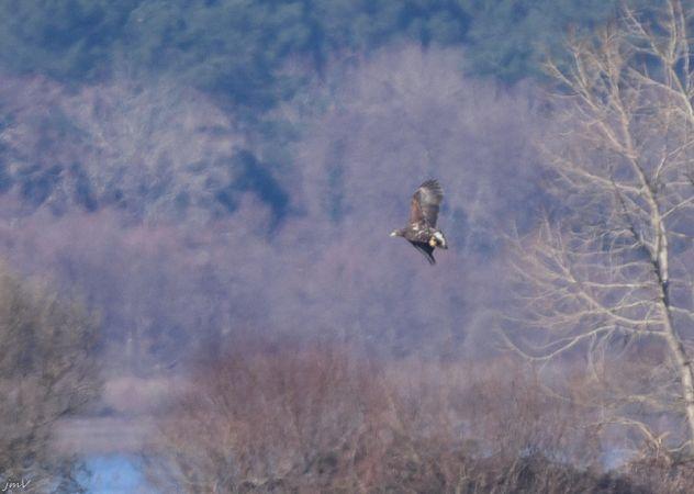 White-tailed Eagle  - Jean Marc Villaret