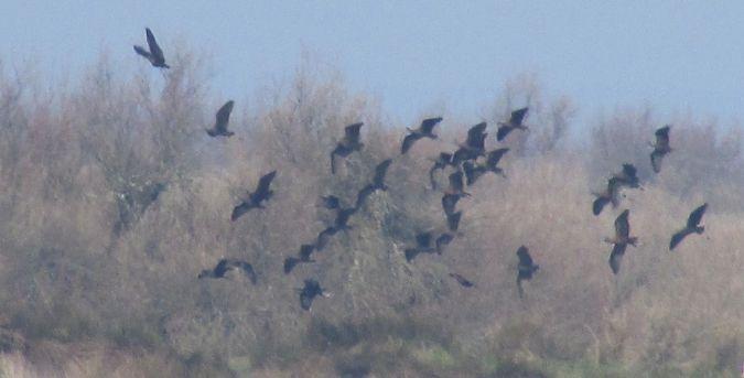 Zwarte ibis  - Bernard Laporte LPO
