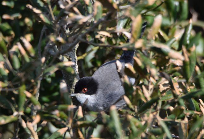 Samtkopfgrasmücke  - Geoffroy Chabot
