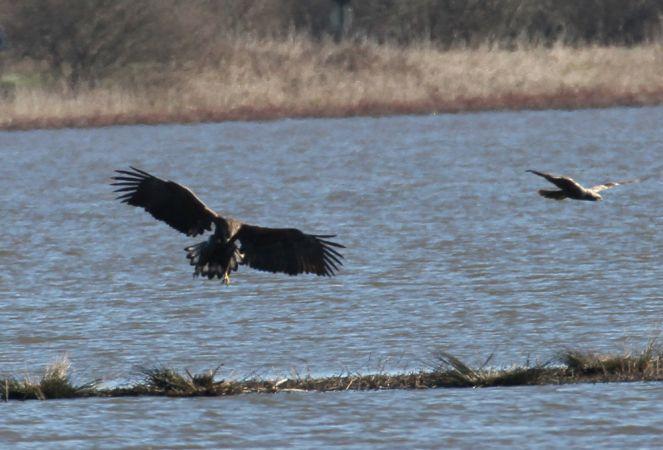 White-tailed Eagle  - Alain Noel