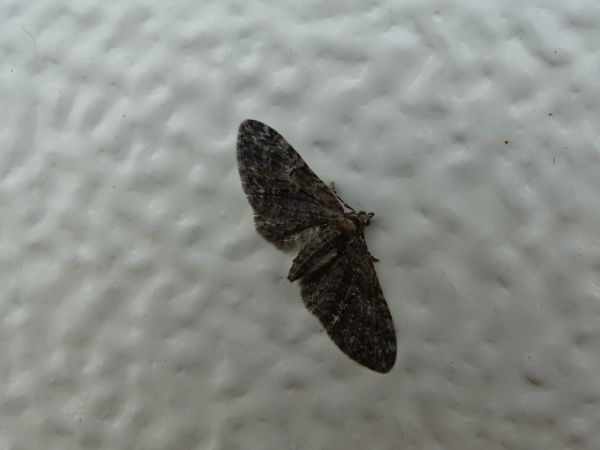 Eupithecia sp.  - François Poirier